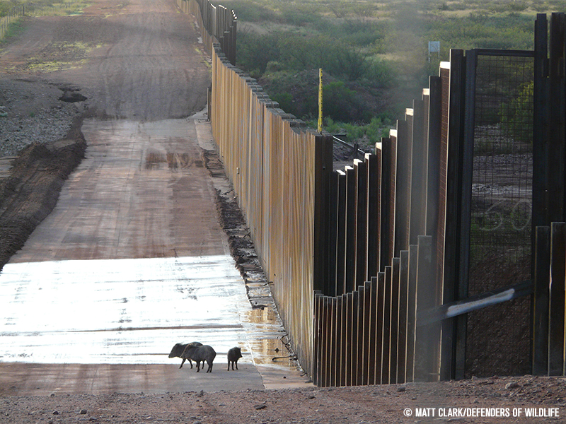 Border Wall, Javelinas, Photo: © Matt Clark