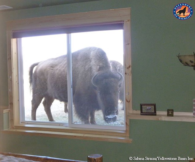Bison in Window