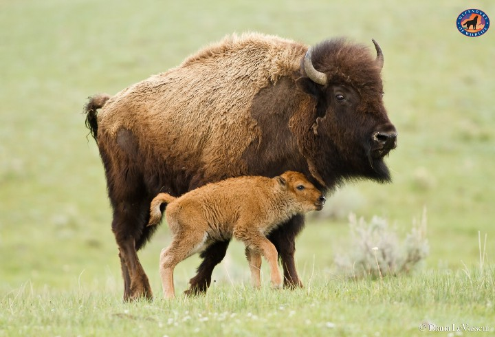 Bison with baby