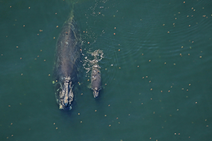 Right whale Catalog #2791 and her less than 2-week-old calf sighted 10 nautical miles off Fernandina Beach, FL — January 6, 2019. Photo Courtesy of Florida Fish and Wildlife Conservation Commission, taken under NOAA permit 20556–01