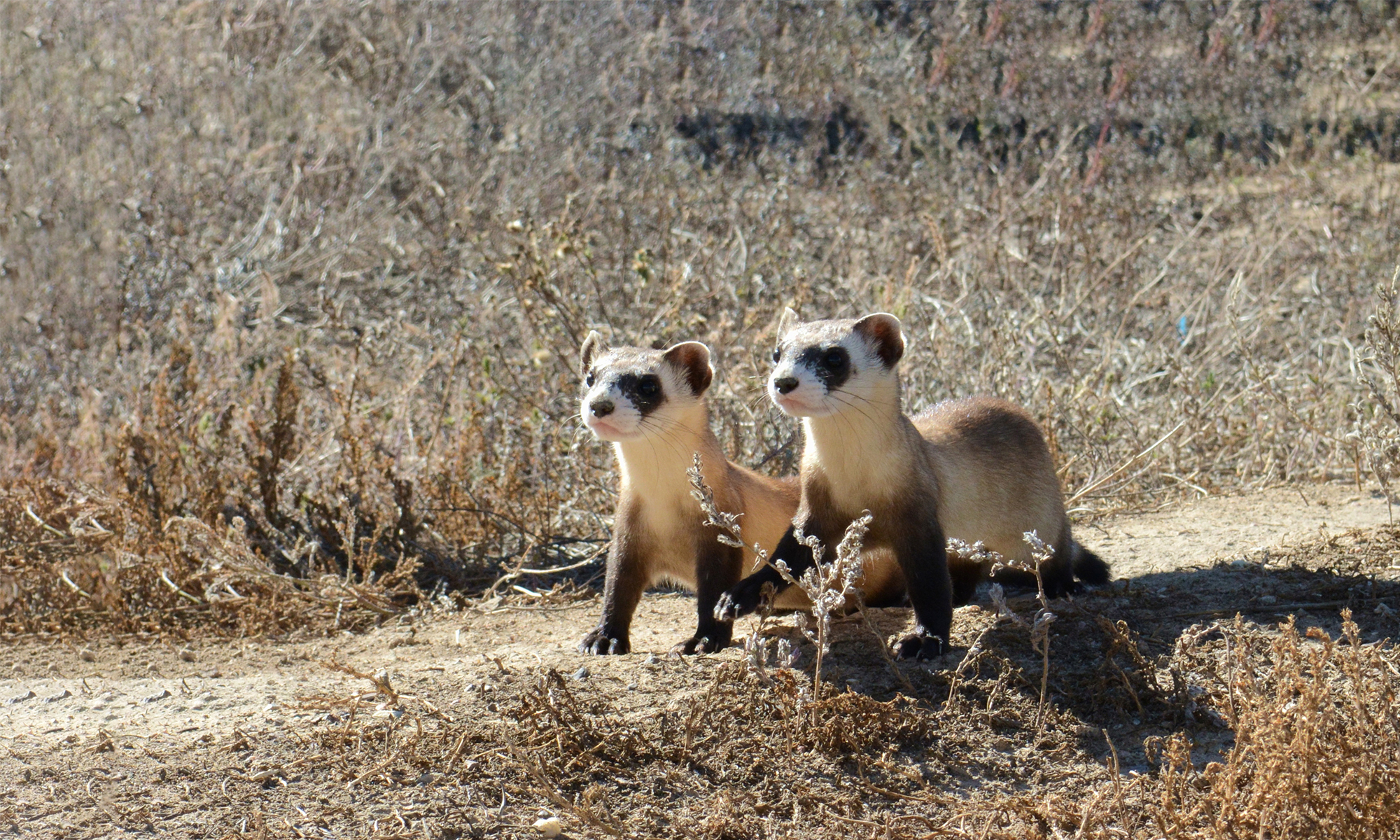 Black-footed ferret kits