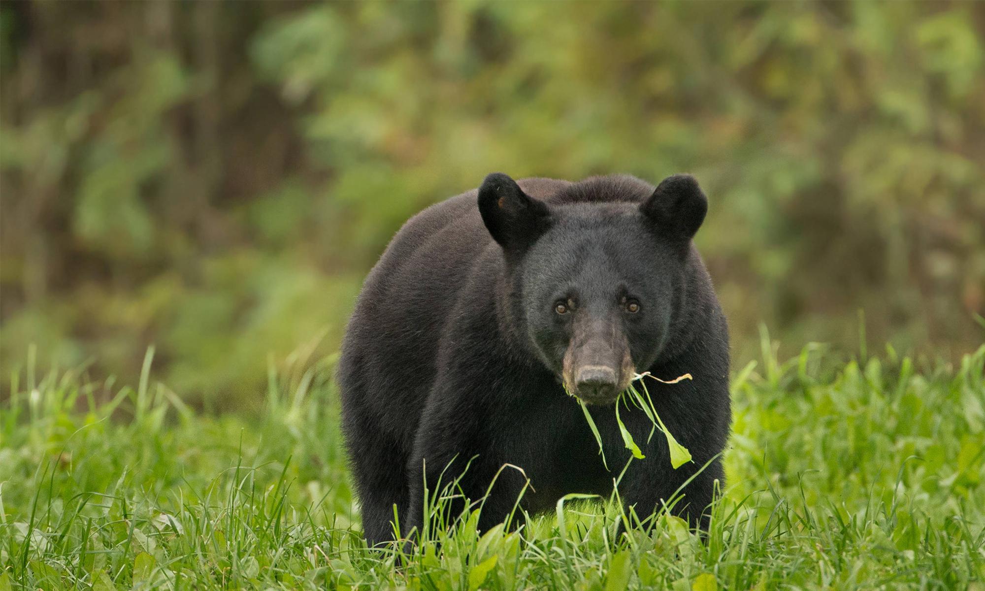 Black bear defenders of wildlife