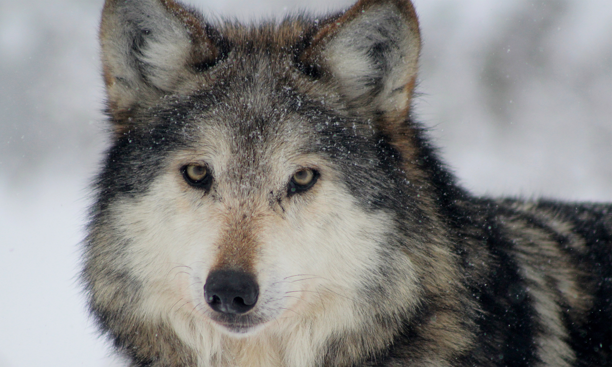 Mexican Gray Wolf Close-up