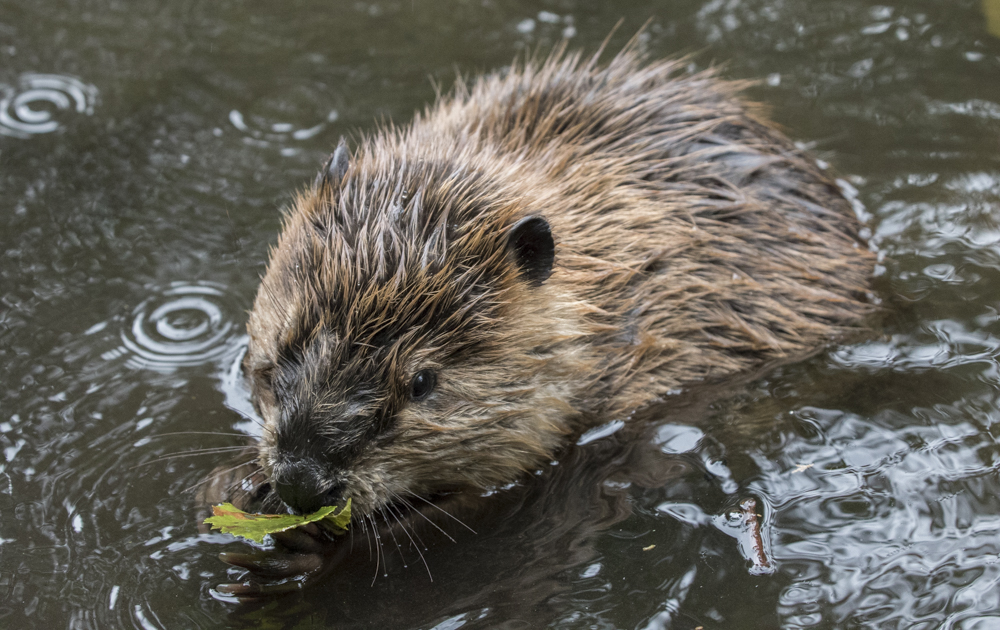Beaver munching on a leaf