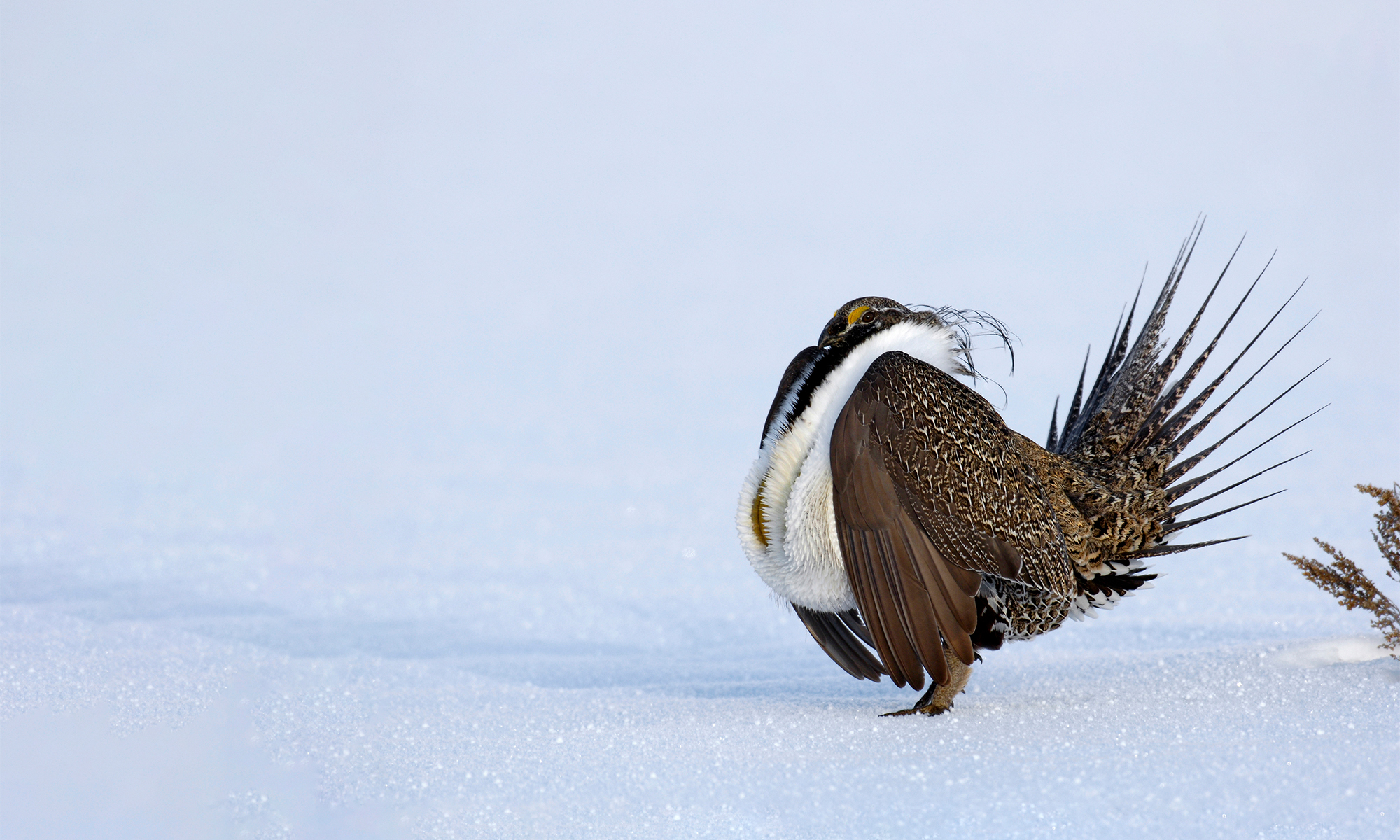 Greater Sage-Grouse in snow