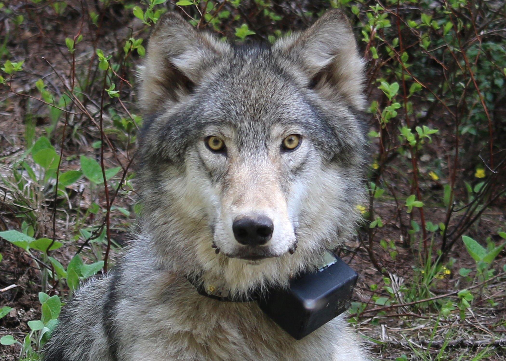 A 72 pound female wolf of the Minam Pack, after being radio-collared on June 3, 2014