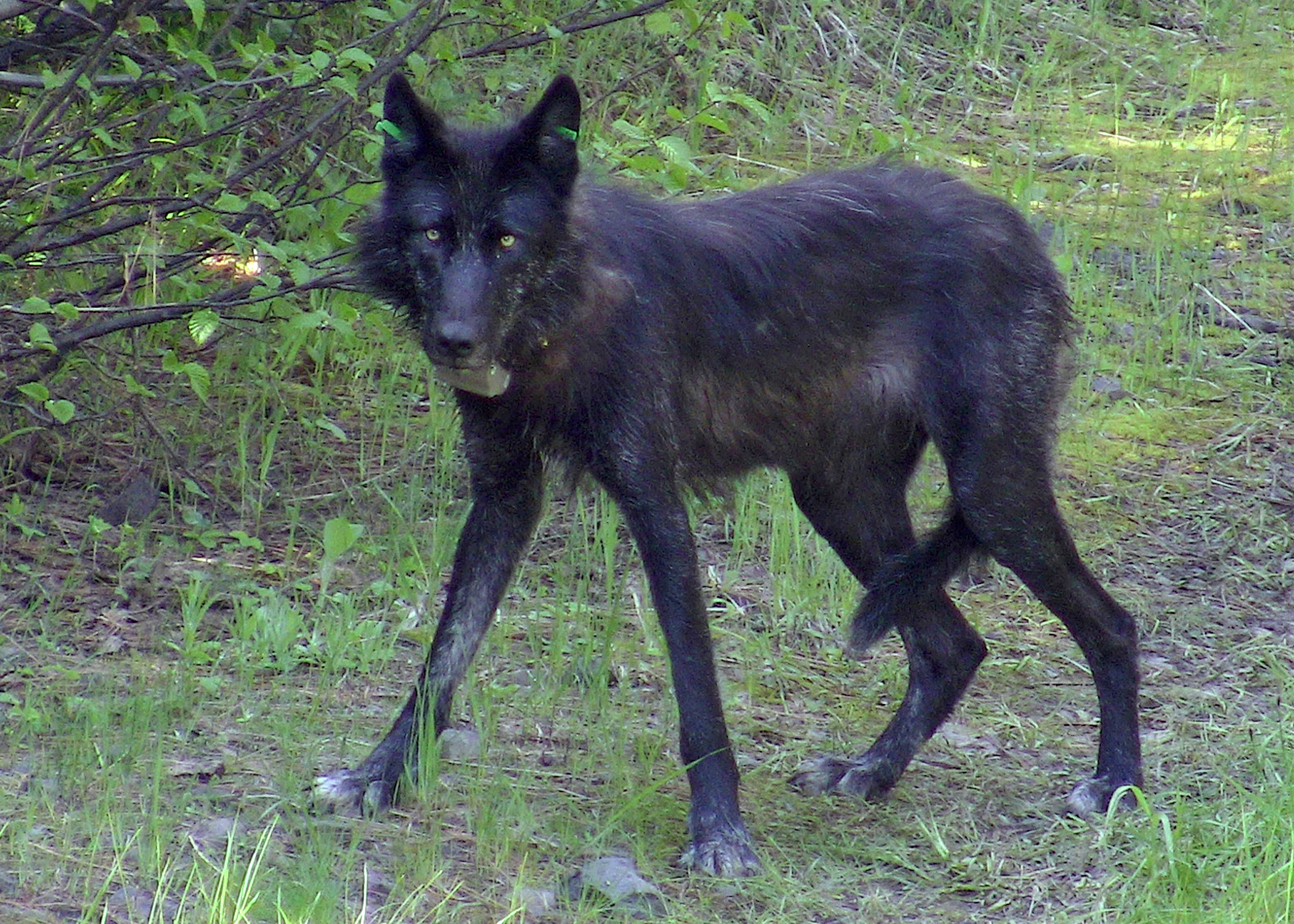OR-13, a female gray wolf of the Wenaha pack