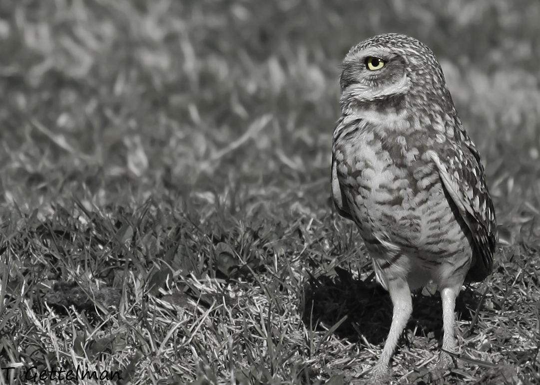 Burrowing owl in northern California