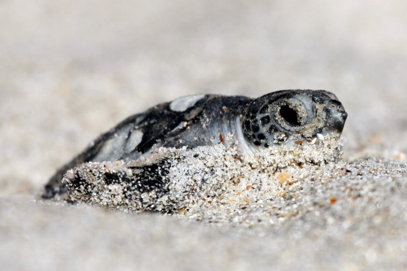 Green sea turtle hatchling at Archie Carr NWR