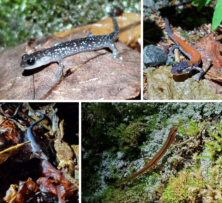 Salamander collage
