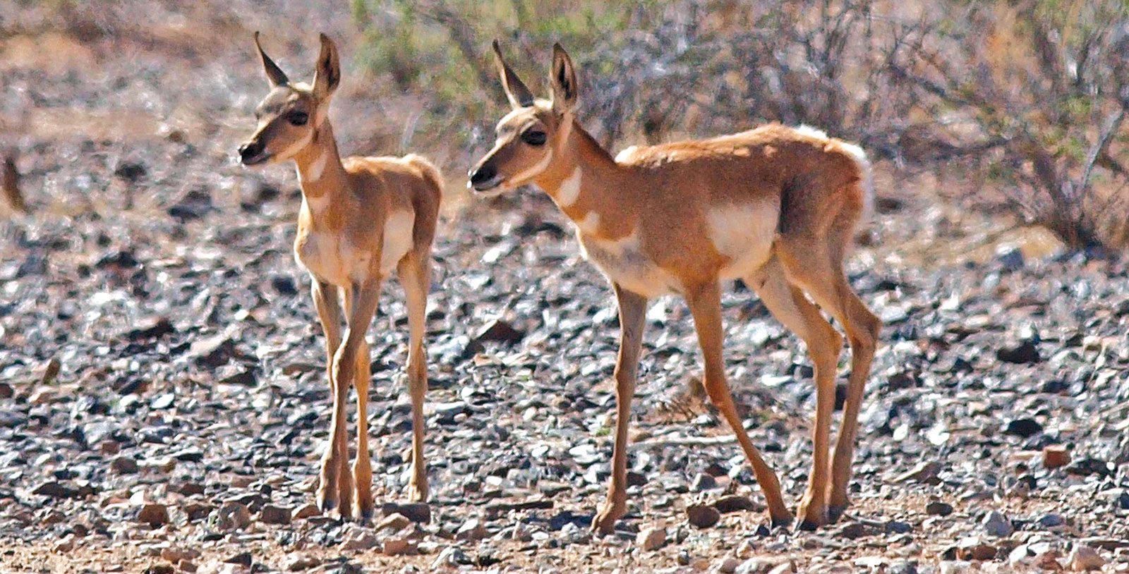 Sonoran pronghorn fawns