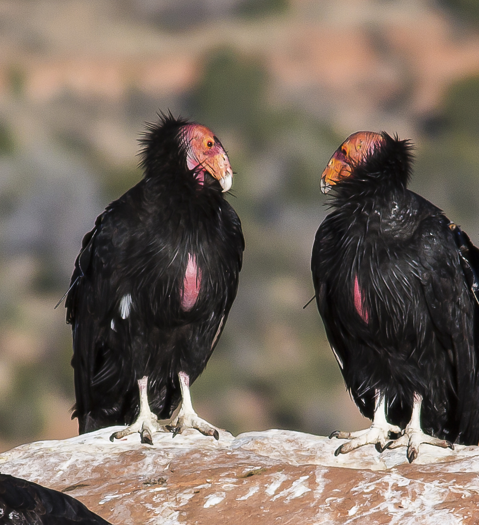 California condors in Vermilion Cliffs National Monument