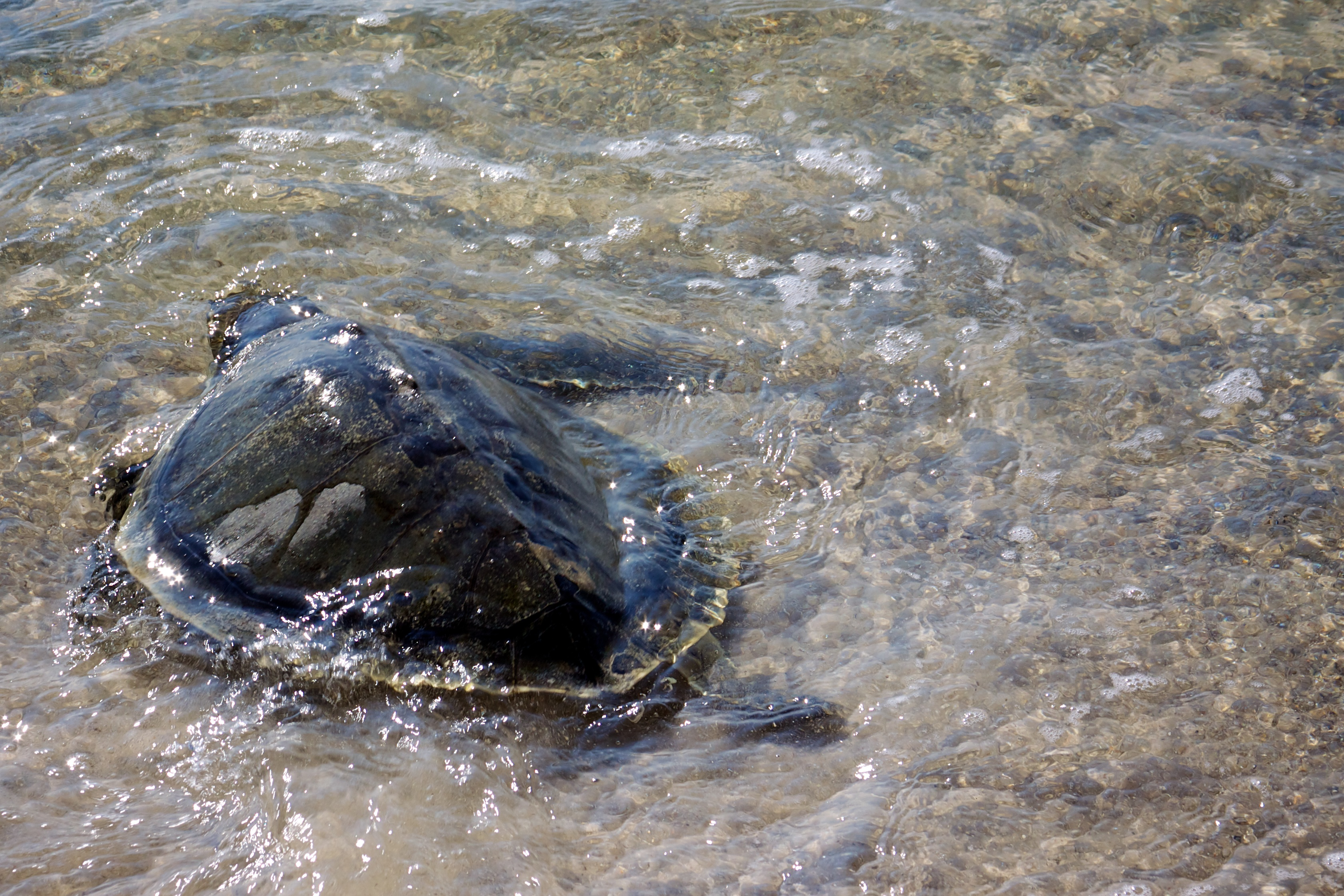 Kemp's Ridley Sea Turtle being released at Bon Secour NWR