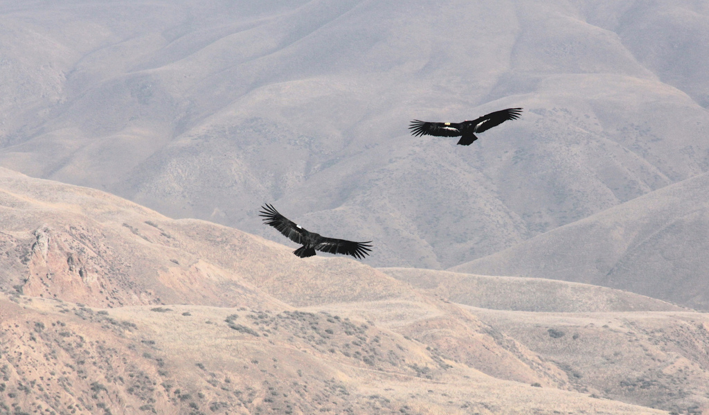 California condor pair Bitter Creek NWR