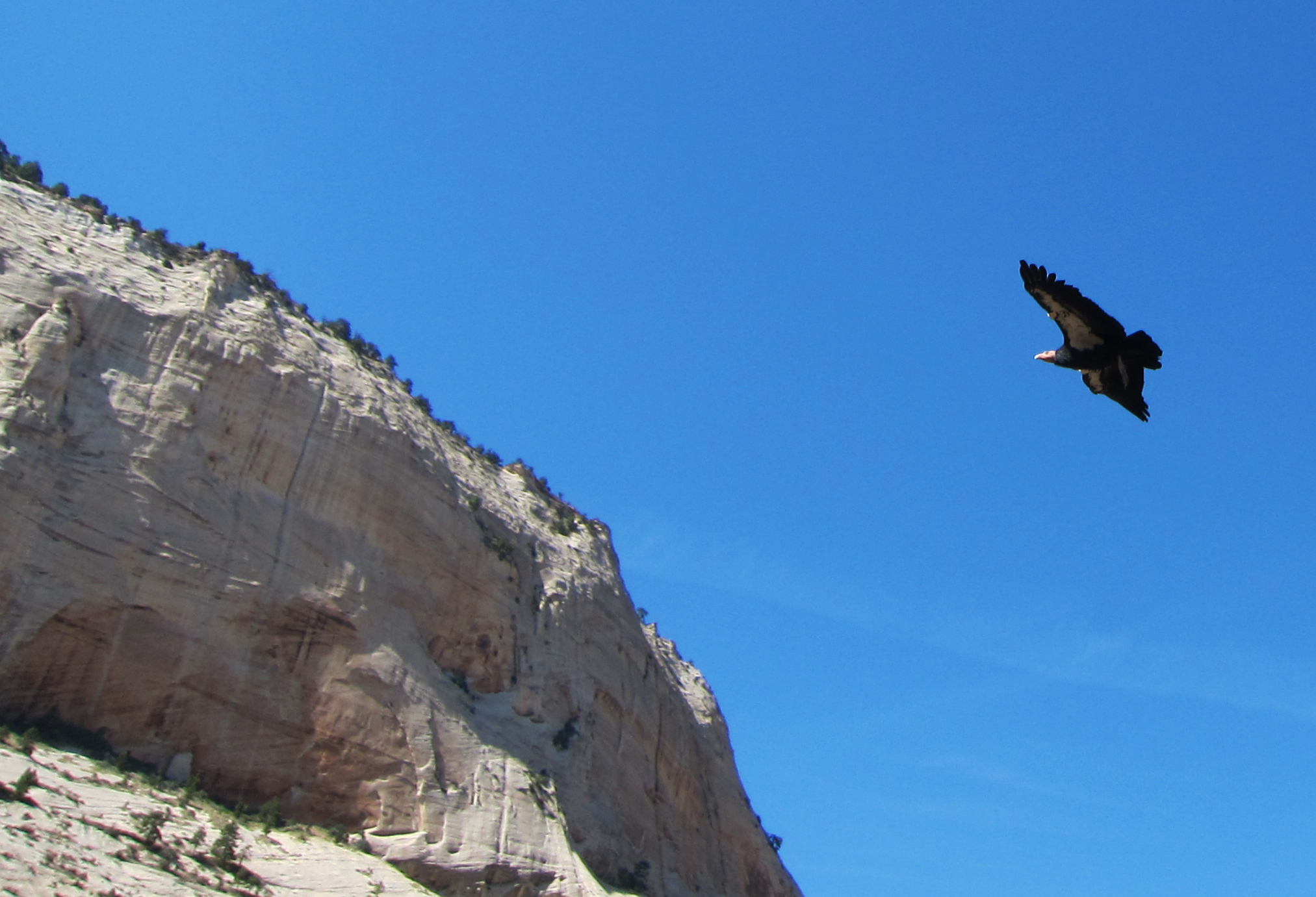 California condor soaring over Angels Landing Zion
