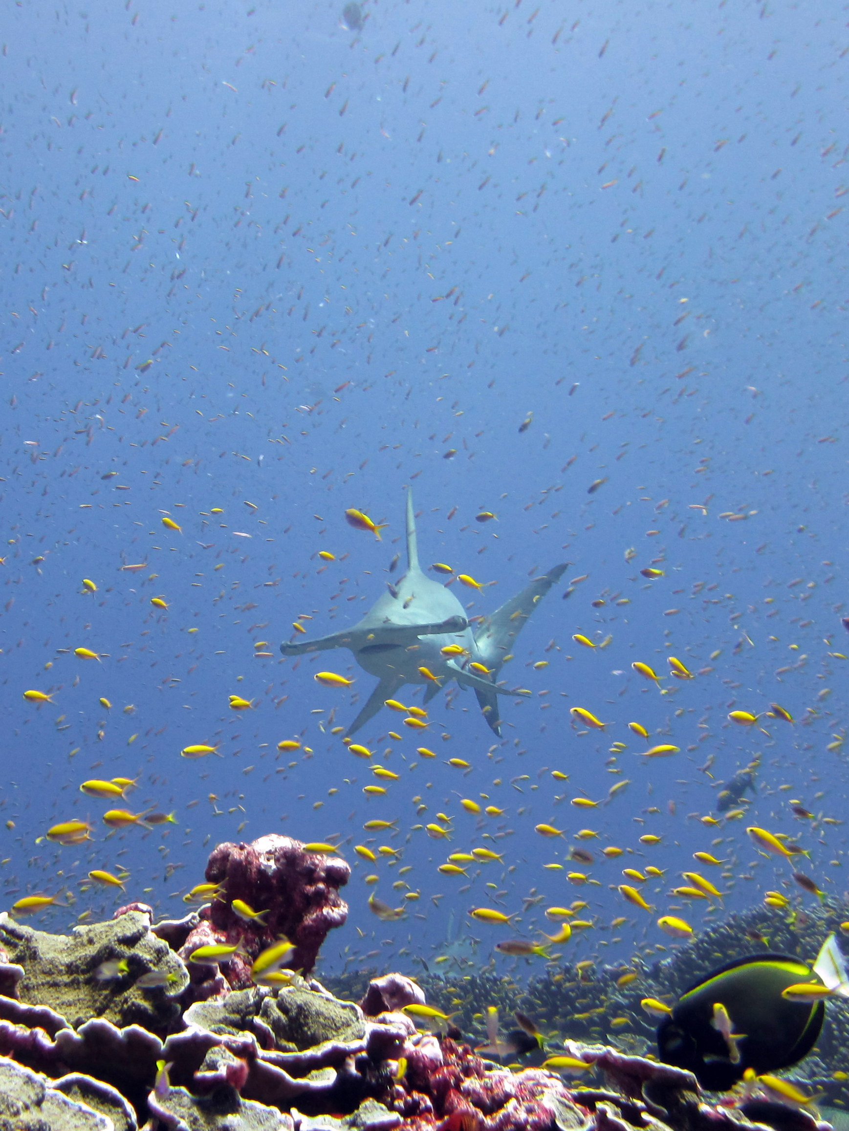 Scalloped Hammerhead Shark with schools of anthias at Jarvis Island