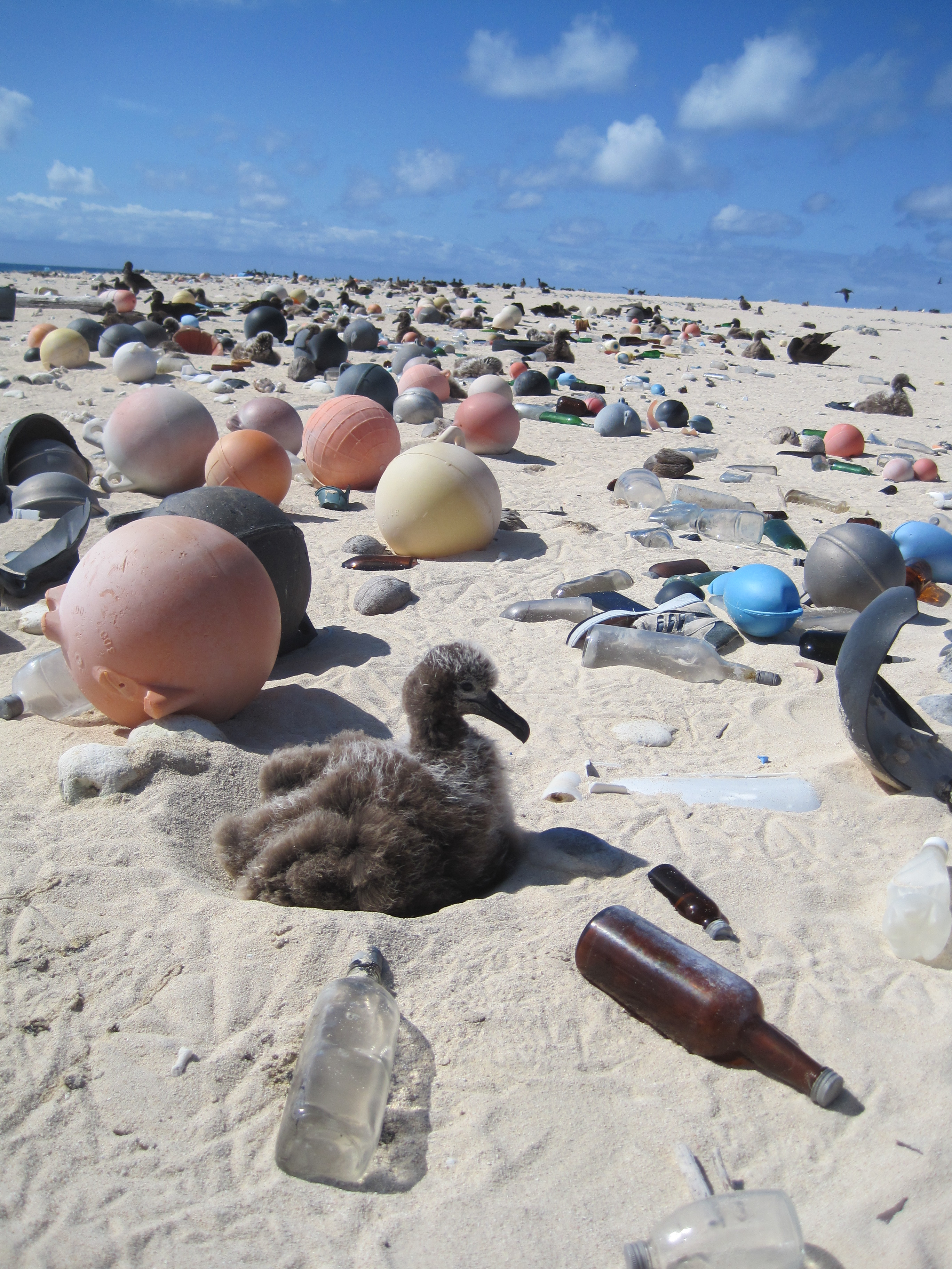 Albatross chick surrounded by trash Papahanaumokuakea