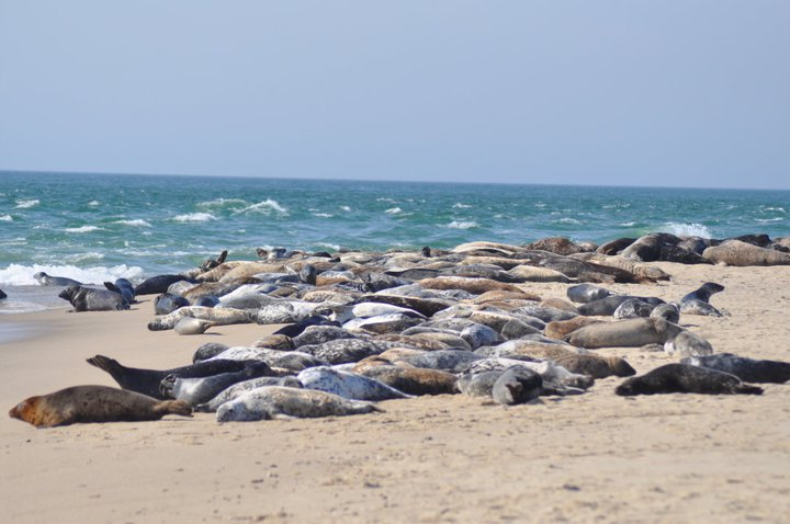 Seals at Nantucket National Wildlife Refuge in Massachusetts