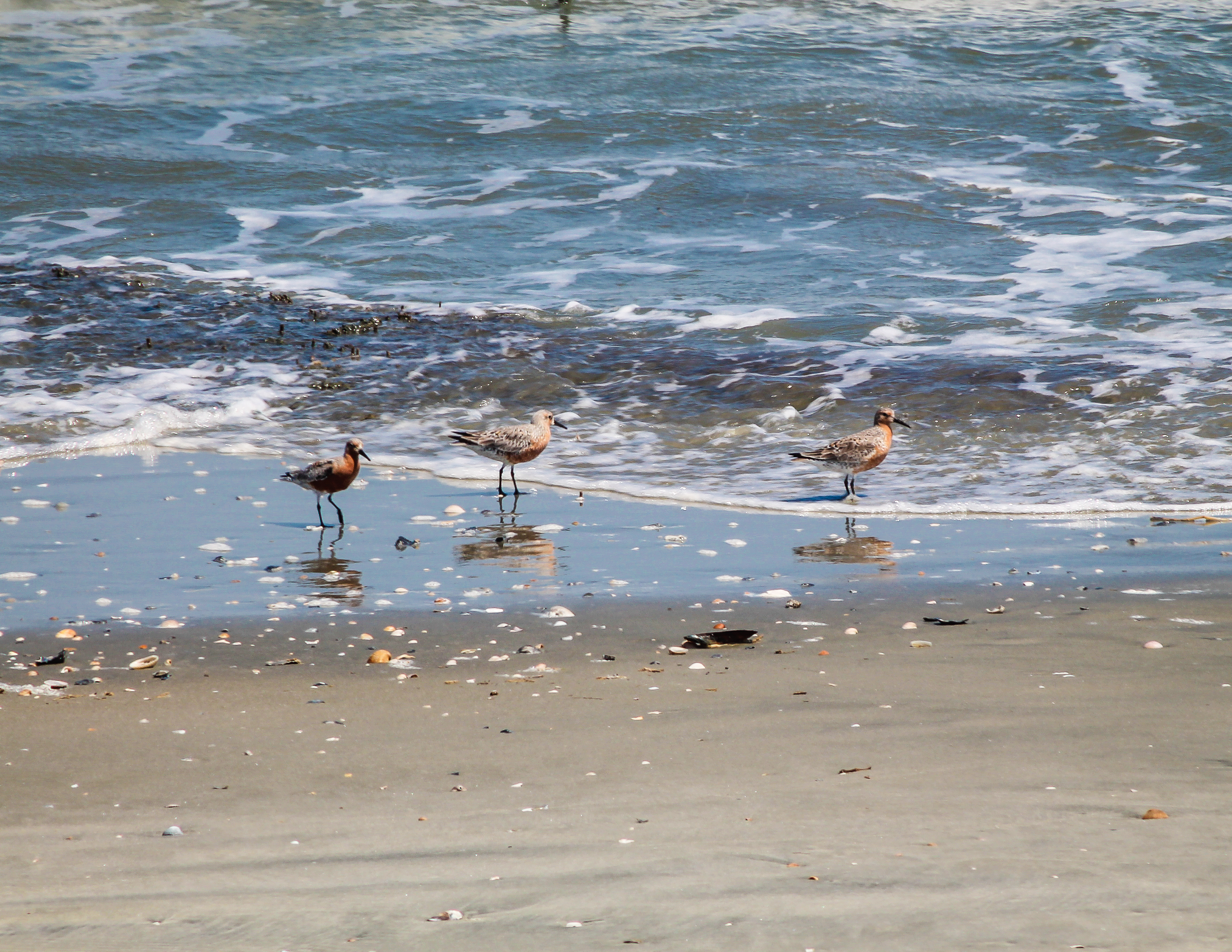 Red knots at Cape Romain NWR