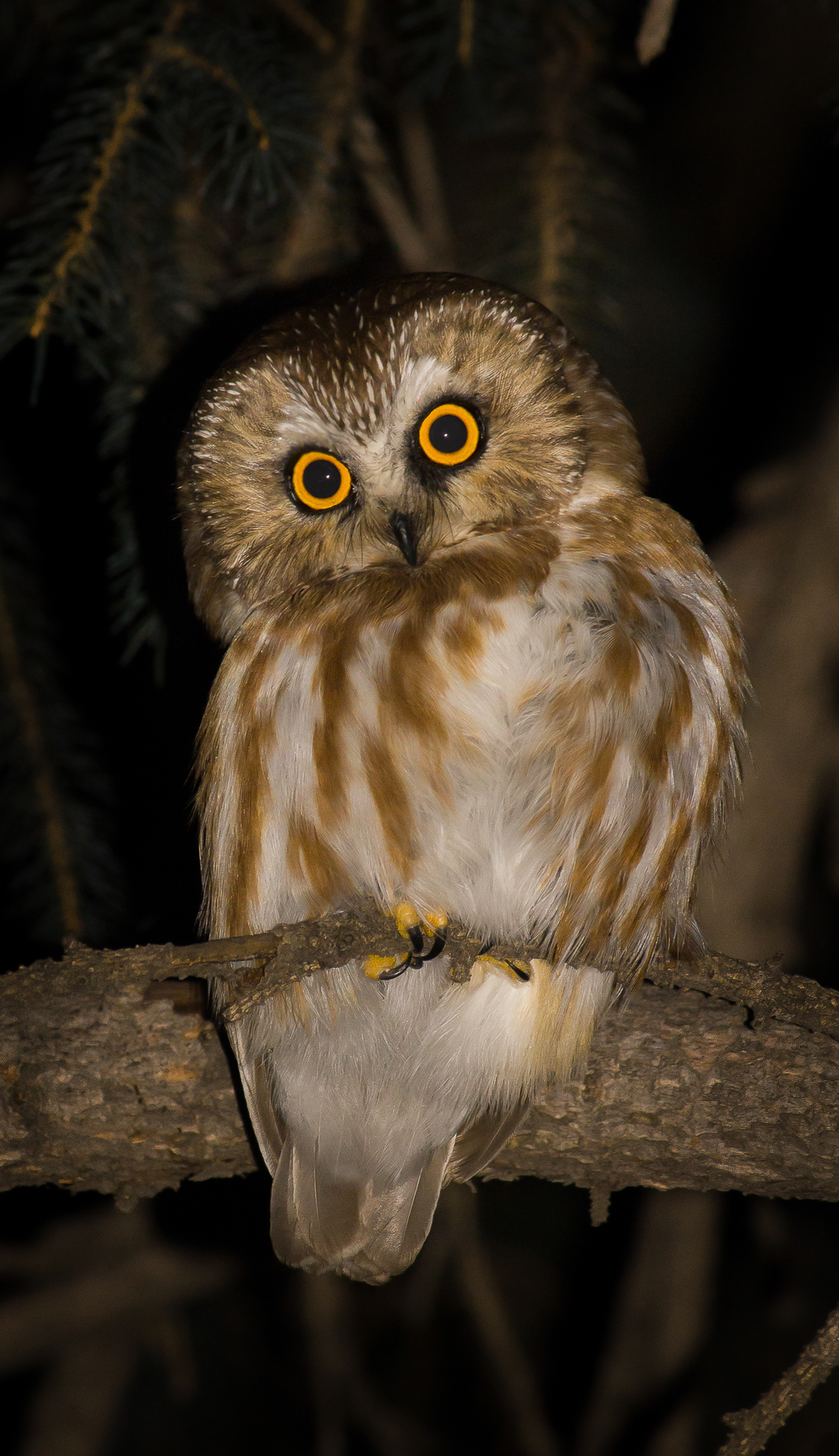 Northern saw-whet owl, Calgary