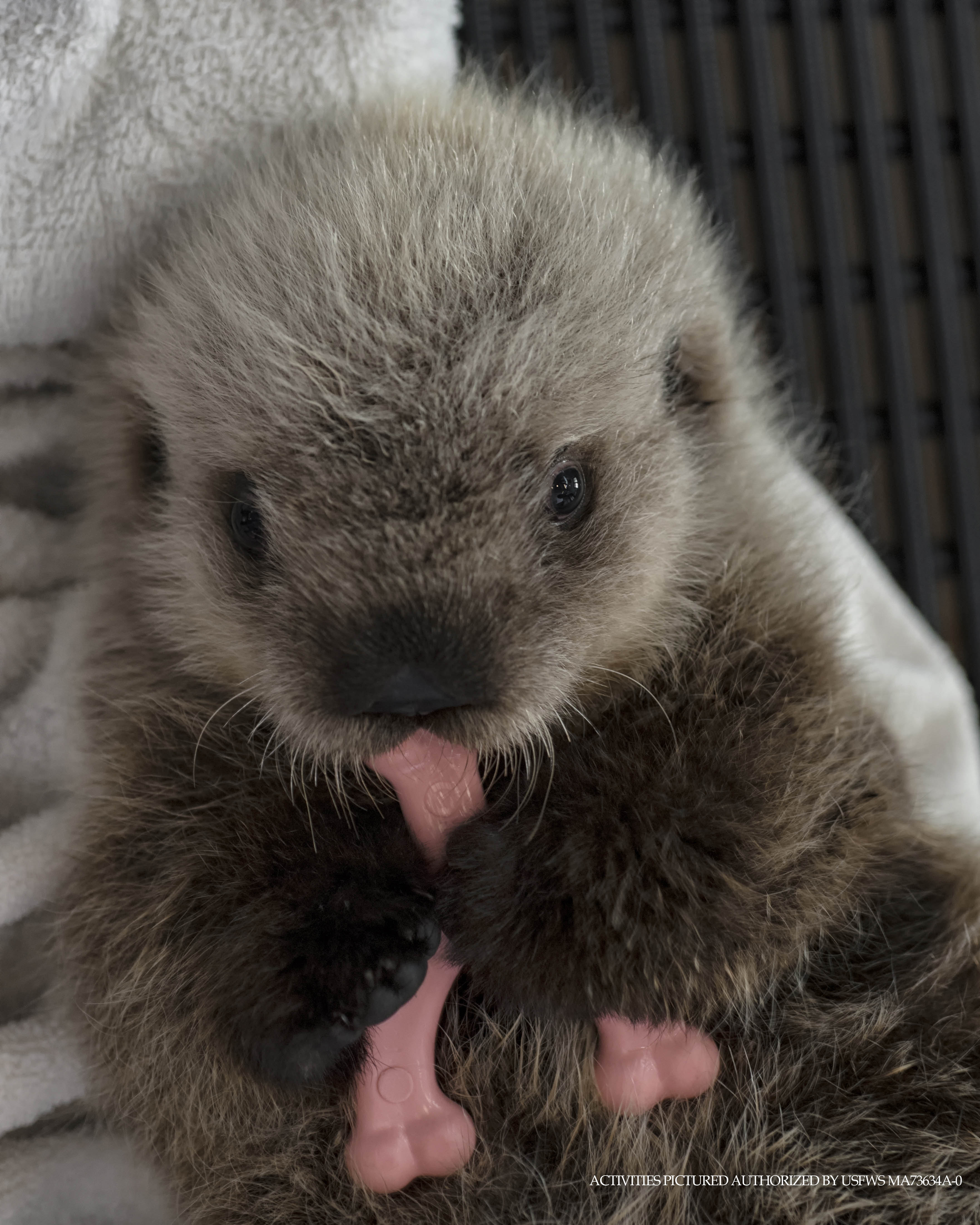Cinder the sea otter pup