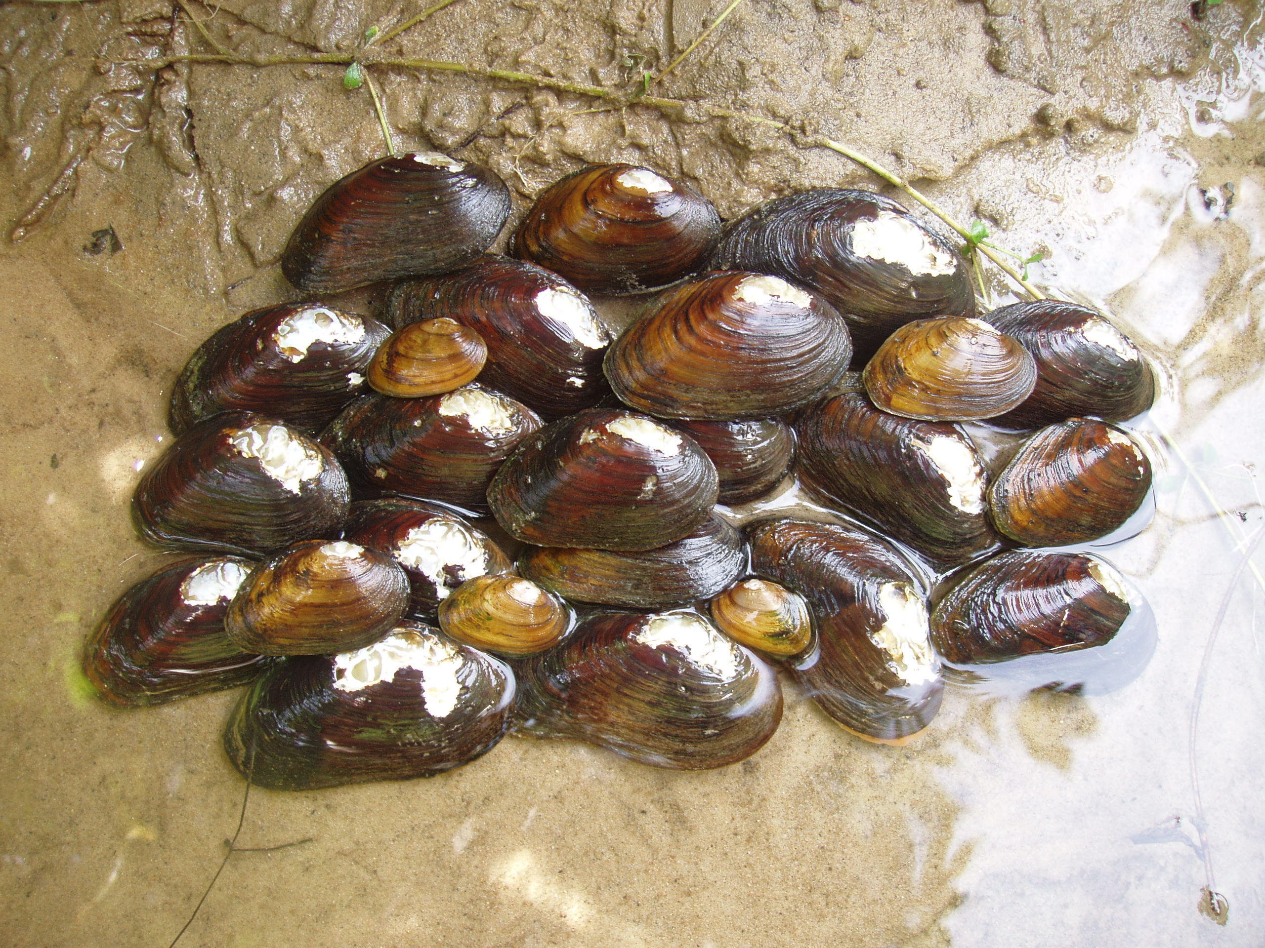 James spinymussel