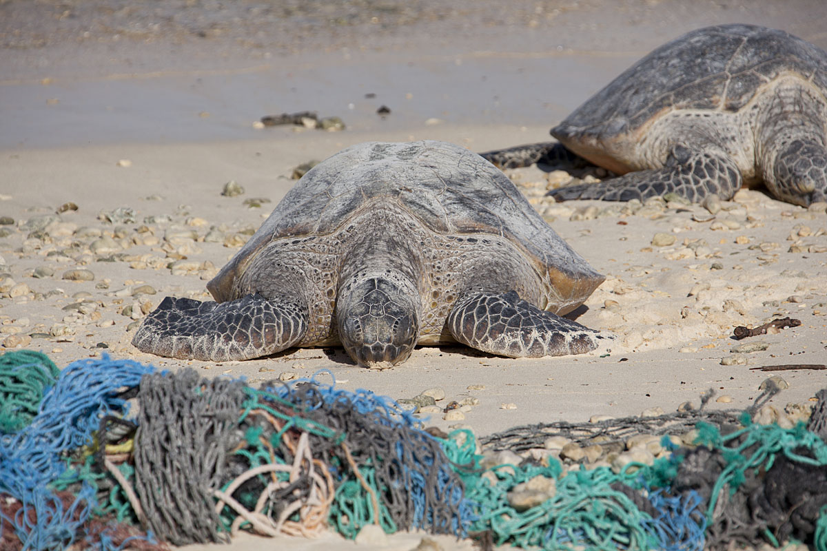 sea turtles on beach with debris nets