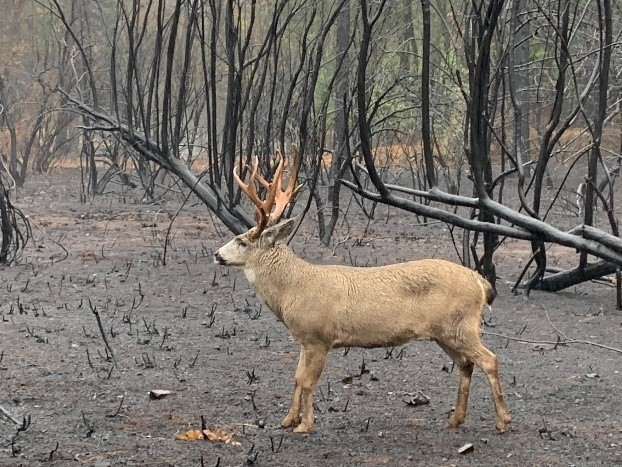 Deer in burned vegetation after Camp Fire wildfire Butte County, CA 2018