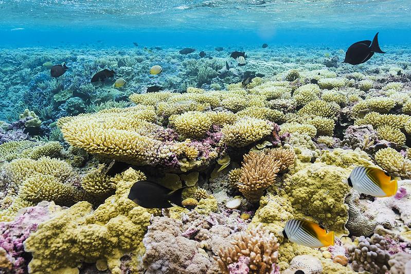 Corals at Barren Island, Palmyra Atoll