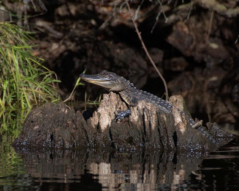 Alligator Okefenokee NWR