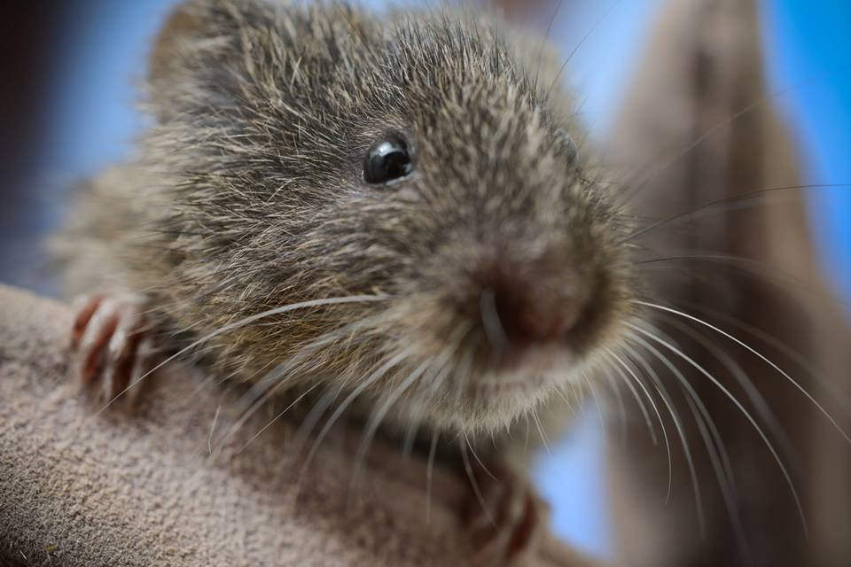 Endangered Amargosa vole, native to the Grimshaw Basin region of the Amargosa River