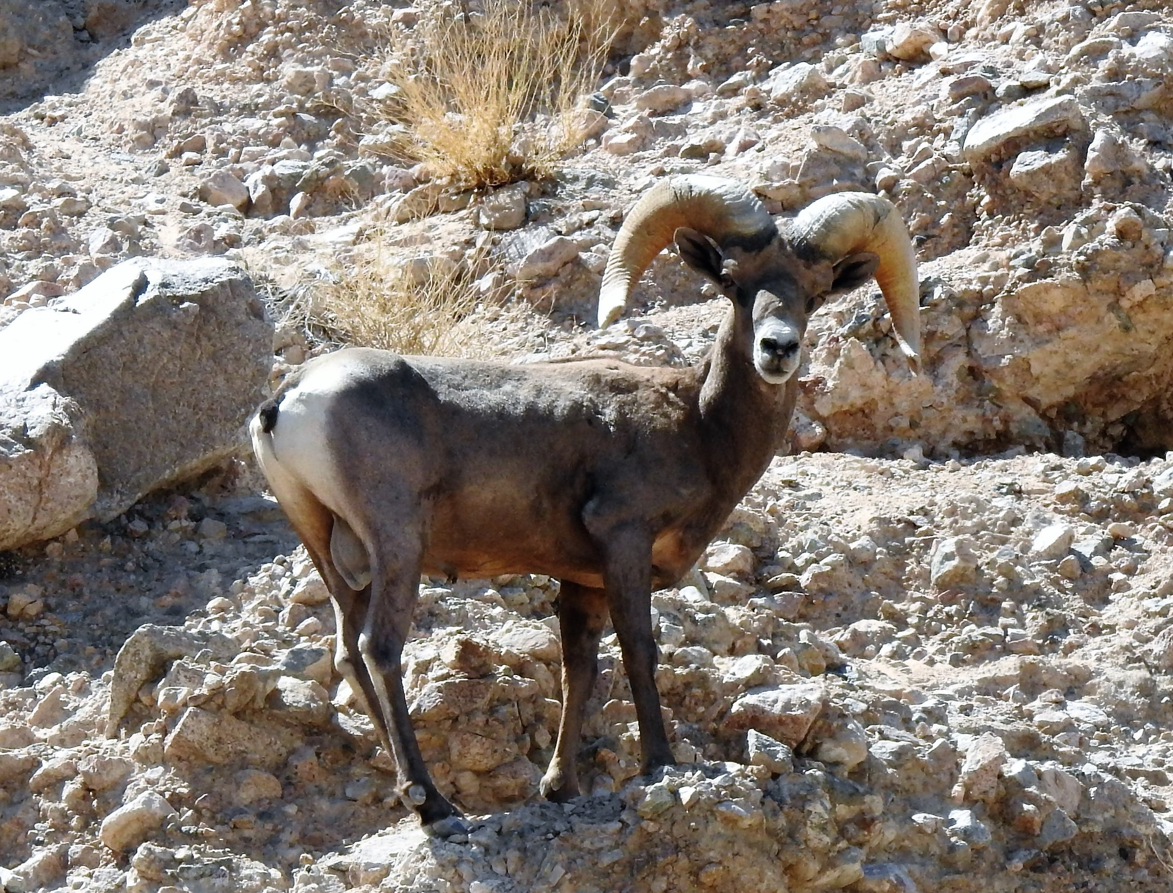 Desert bighorn sheep ram at Afton Canyon Area of Critical Environmental Concern (ACEC), within the Mojave Trails National Monument