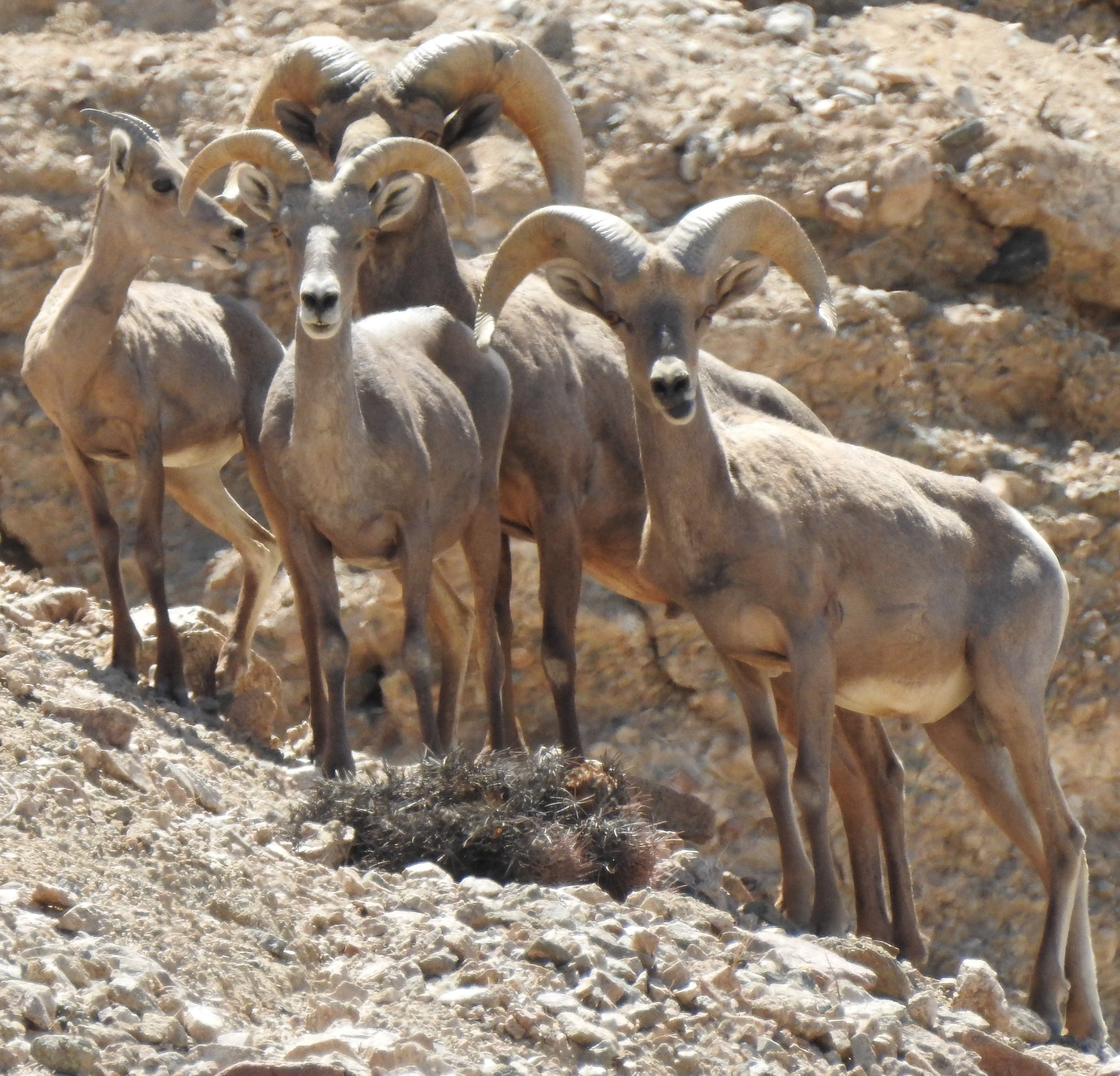 Desert bighorn sheep at Afton Canyon Area of Critical Environmental Concern (ACEC), within the Mojave Trails National Monument Tom Egan/Defenders of Wildlife