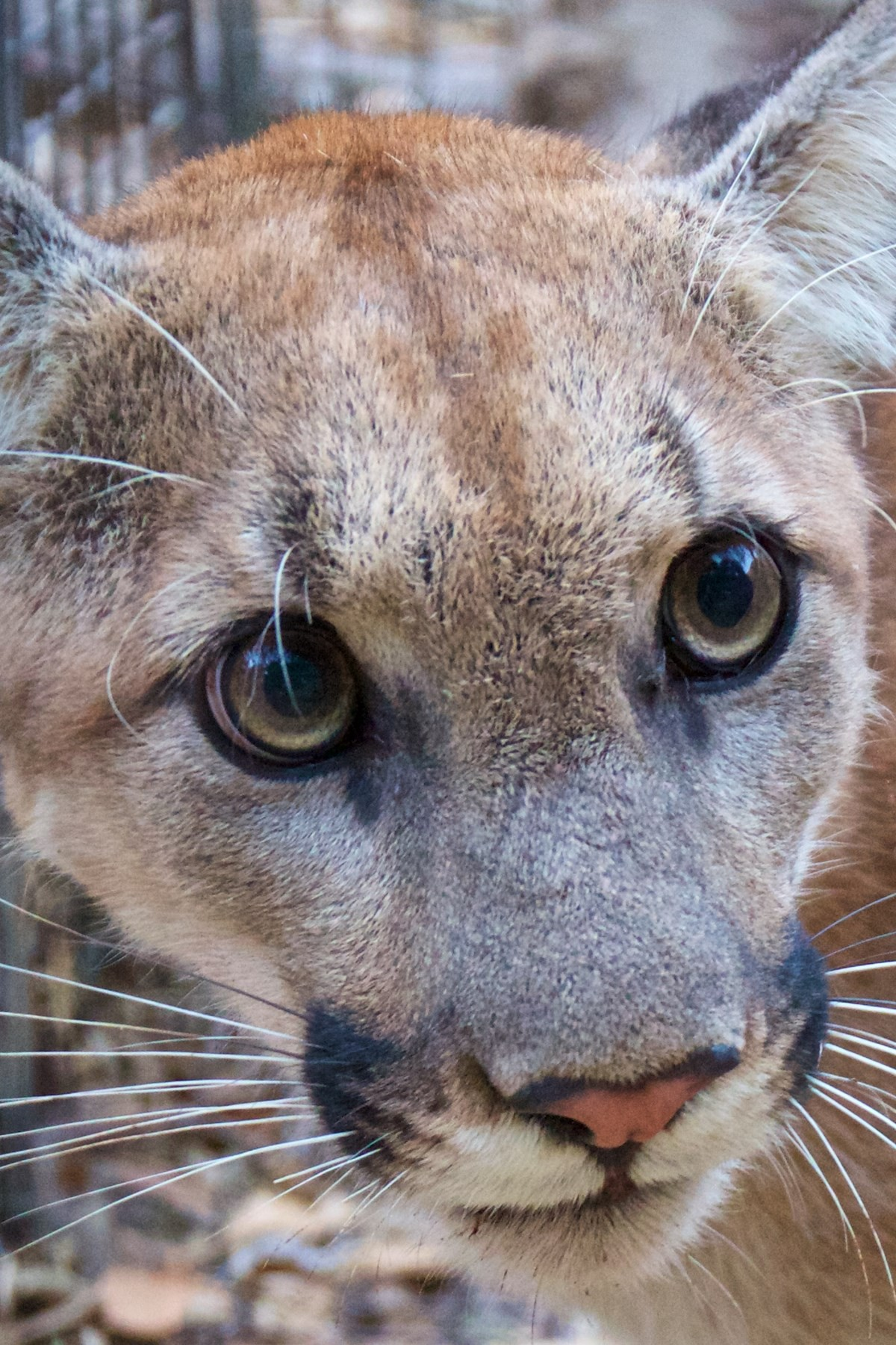 P-74-Mountain-lion-found-in-2018