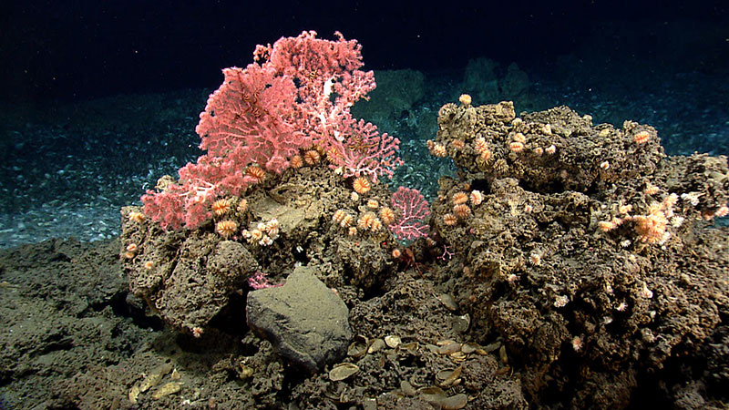 Cup corals and bubblegum corals Northeast Canyons and Seamounts MNM