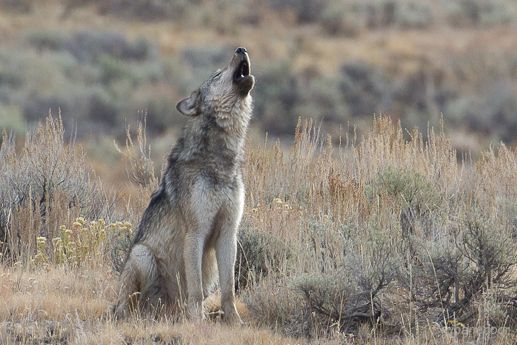 Adolescent gray wolf howling near Lamar River in Yellowstone