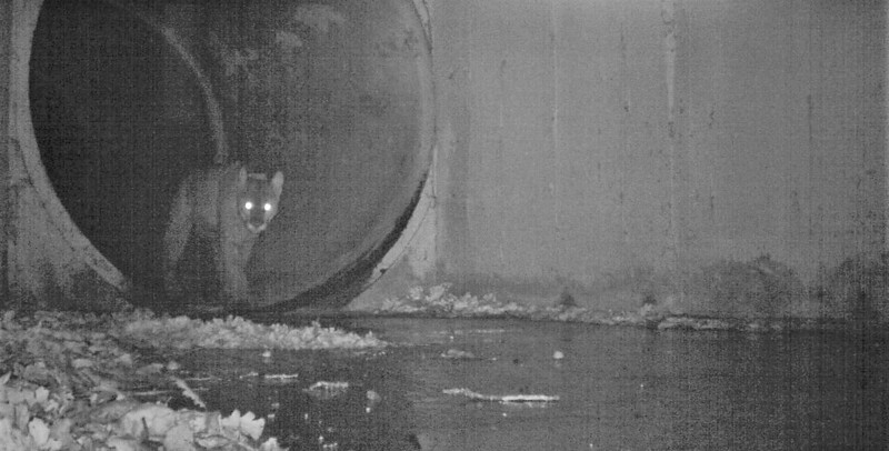 P-64 mountain lion crossing under freeway Liberty Culvert