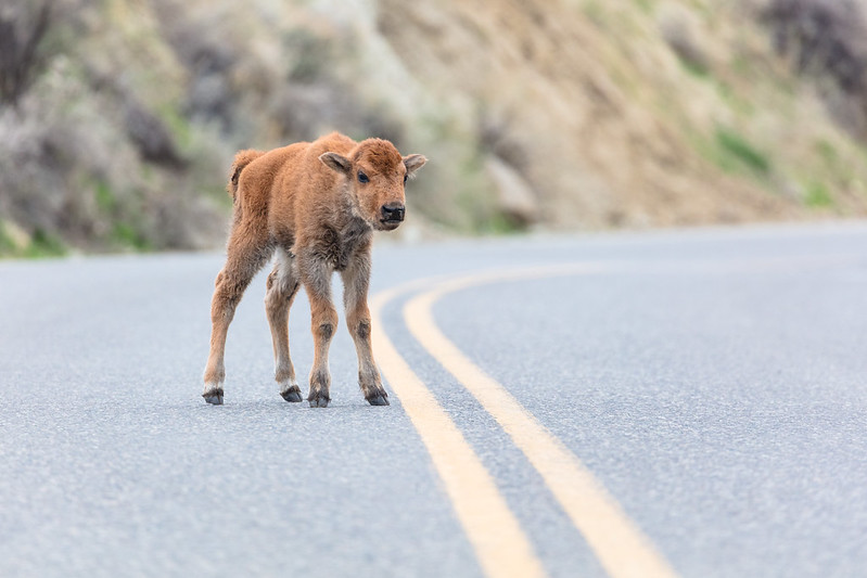 Bison calf walks in the road Yellowstone NP