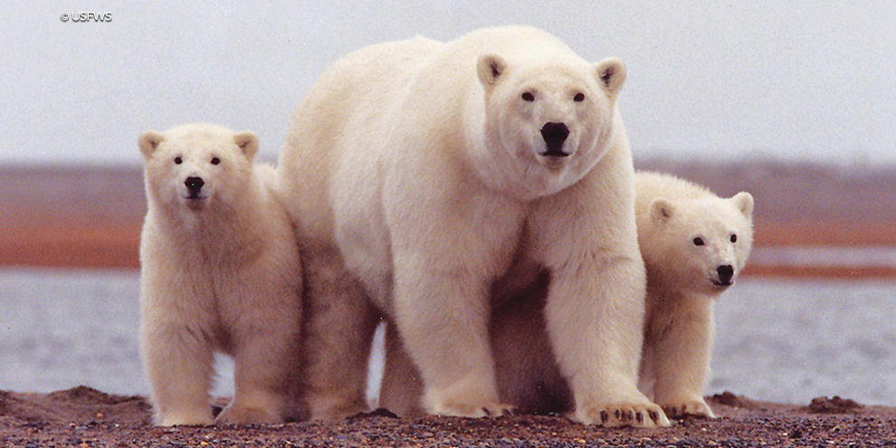 Polar Bear Cubs Dirt ANWR