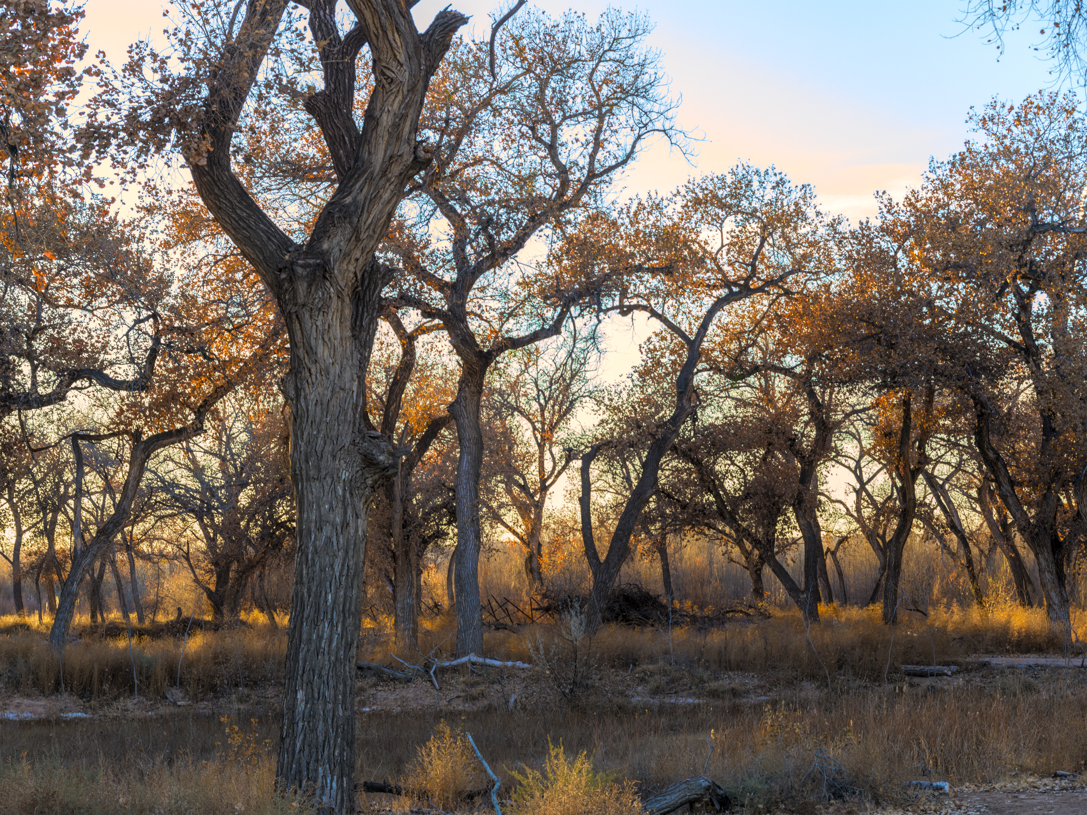 Valle d Oro NWR Cottonwood bosque