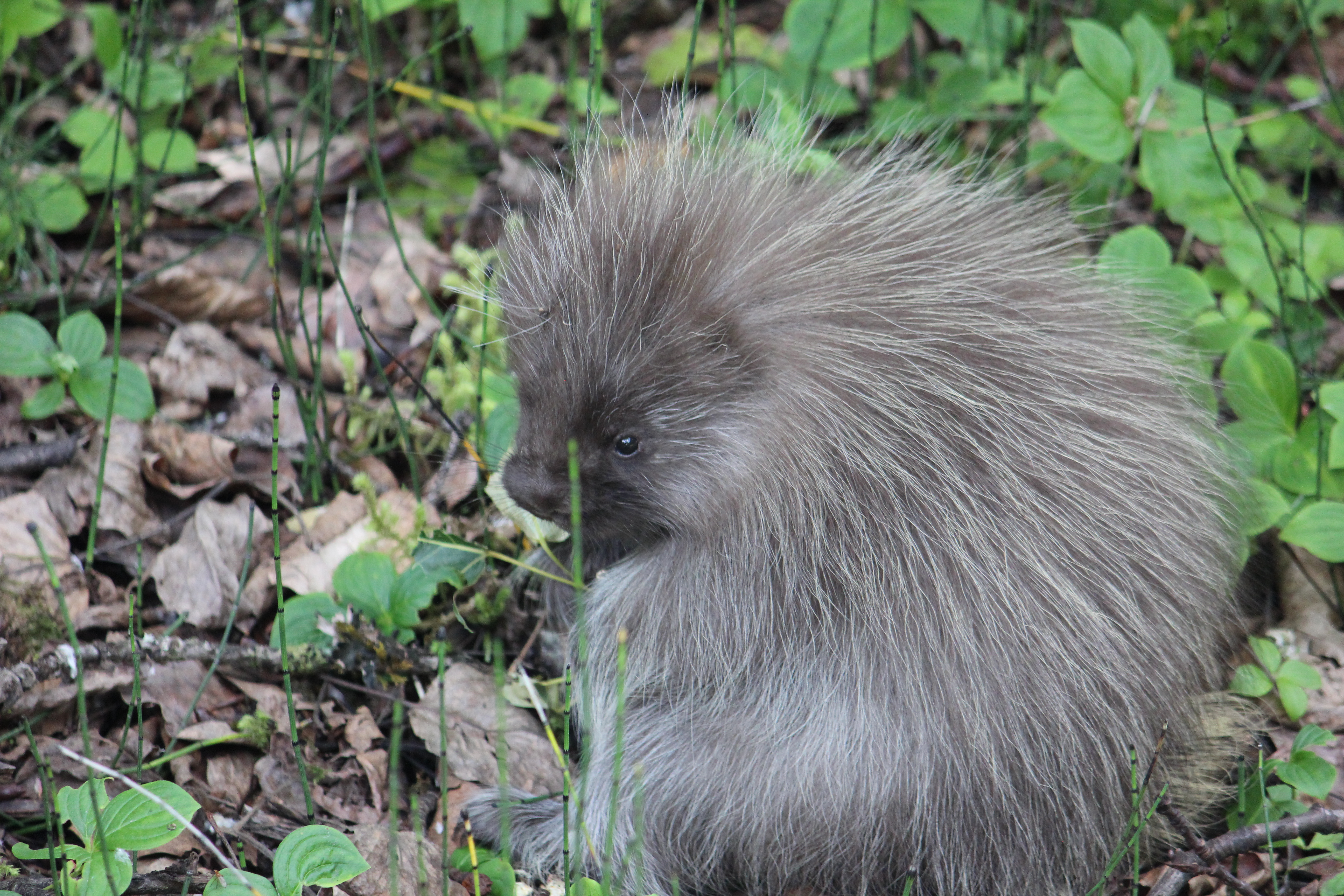 Baby porcupine Tongass