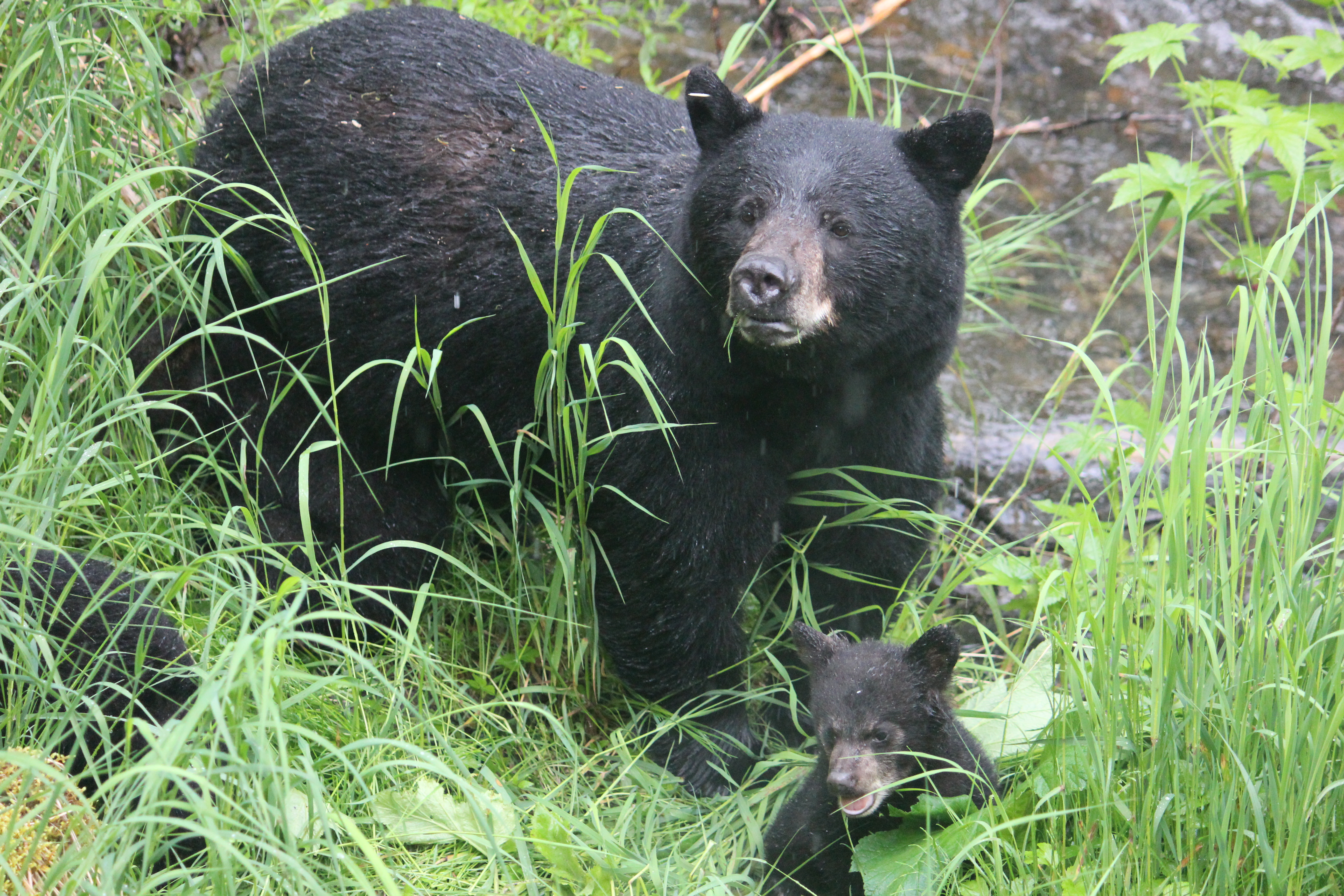 Black bear momma and cubs in the Tongass