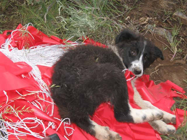 livestock guardian puppy with fladry