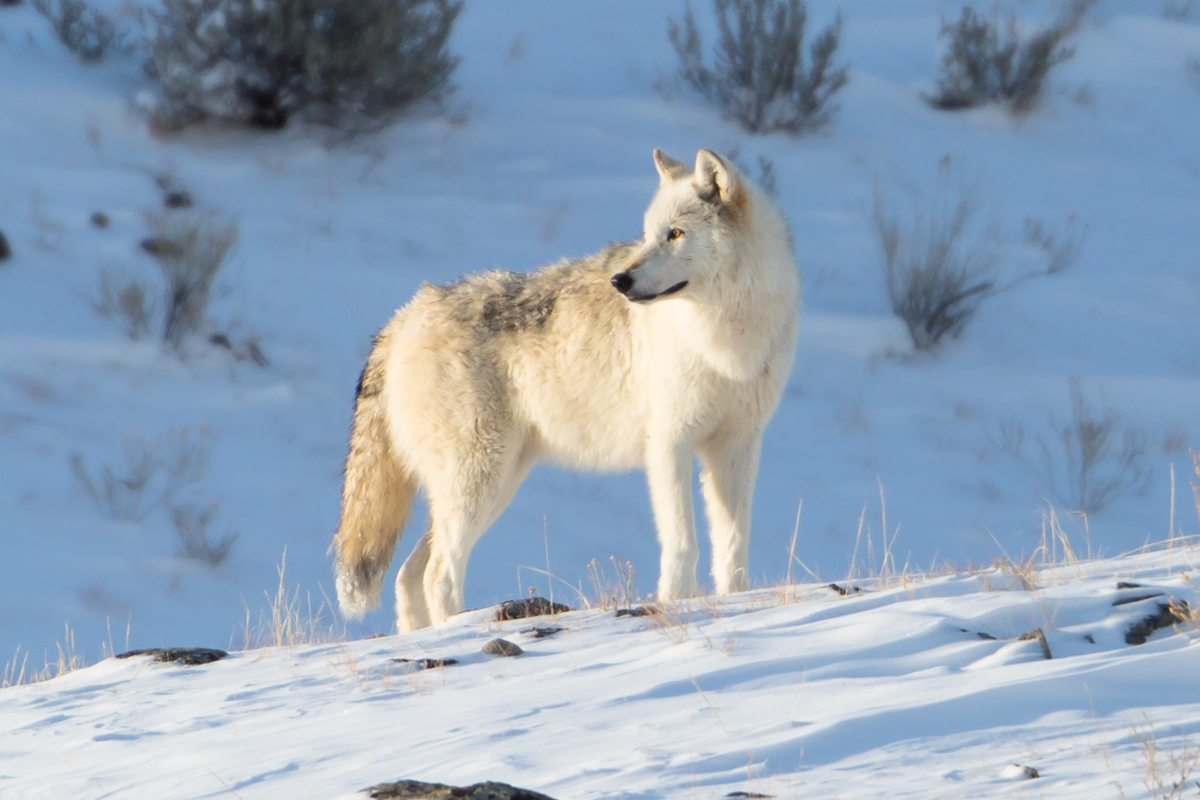 Alpha female of the Canyon pack Yellowstone NP