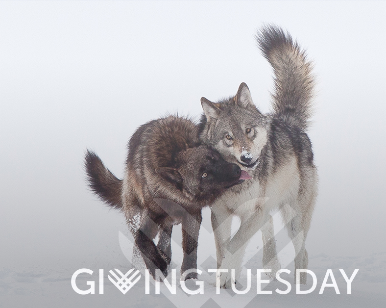 Giving Tuesday Overlay wolves