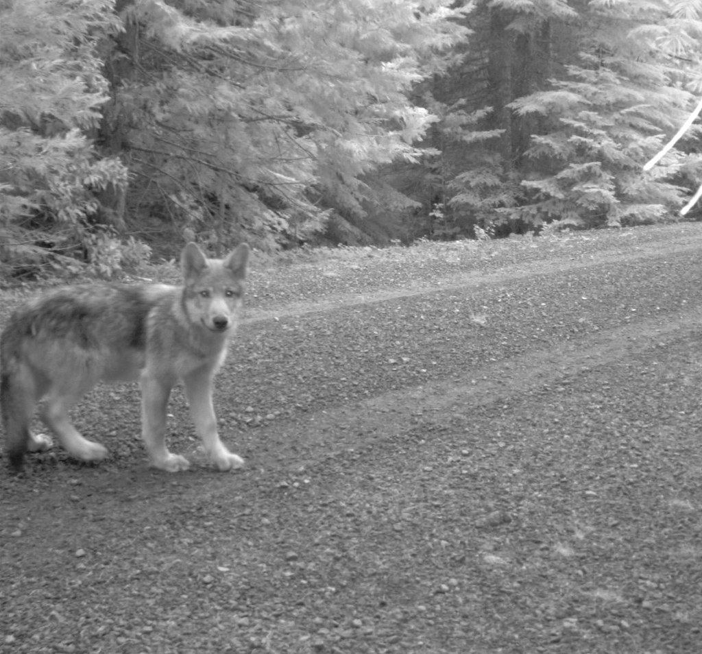 One of OR-7's wolf pups in southwestern Oregon