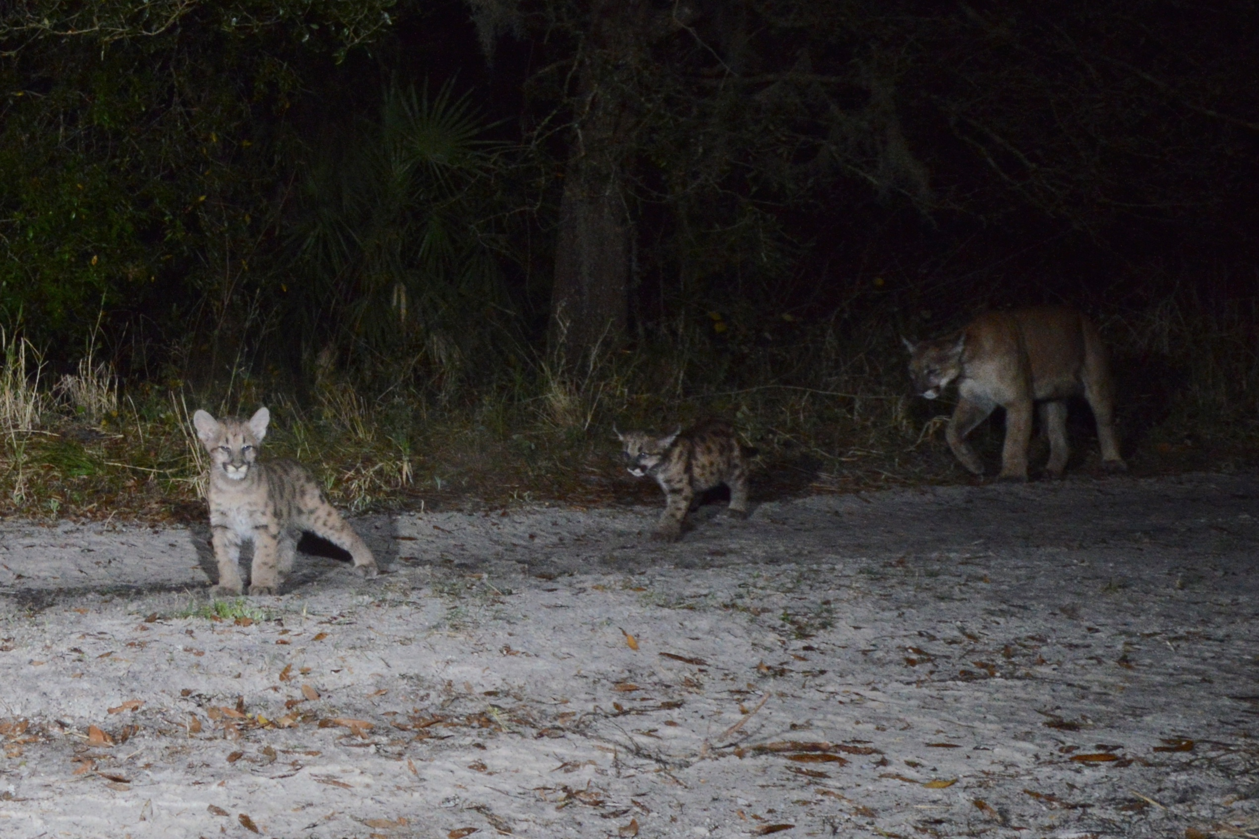 Florida panther family caught on night trap cam