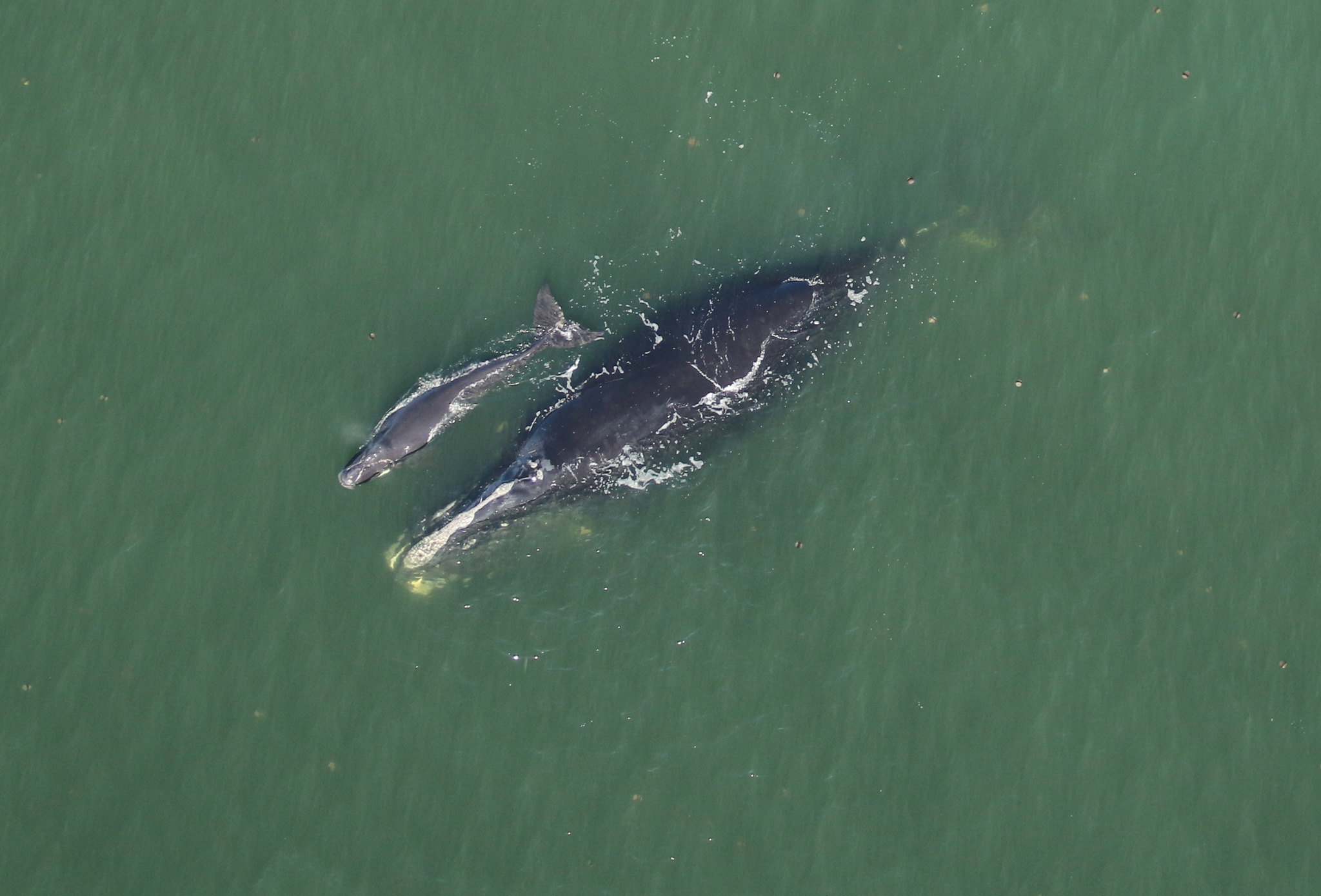Right Whale Catalog #3101- Harmonia with her Newborn Calf approx. 7 nautical miles off Cumberland Island, GA