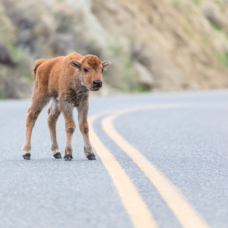 Bison Calf walks on road in Yellowstone National Park