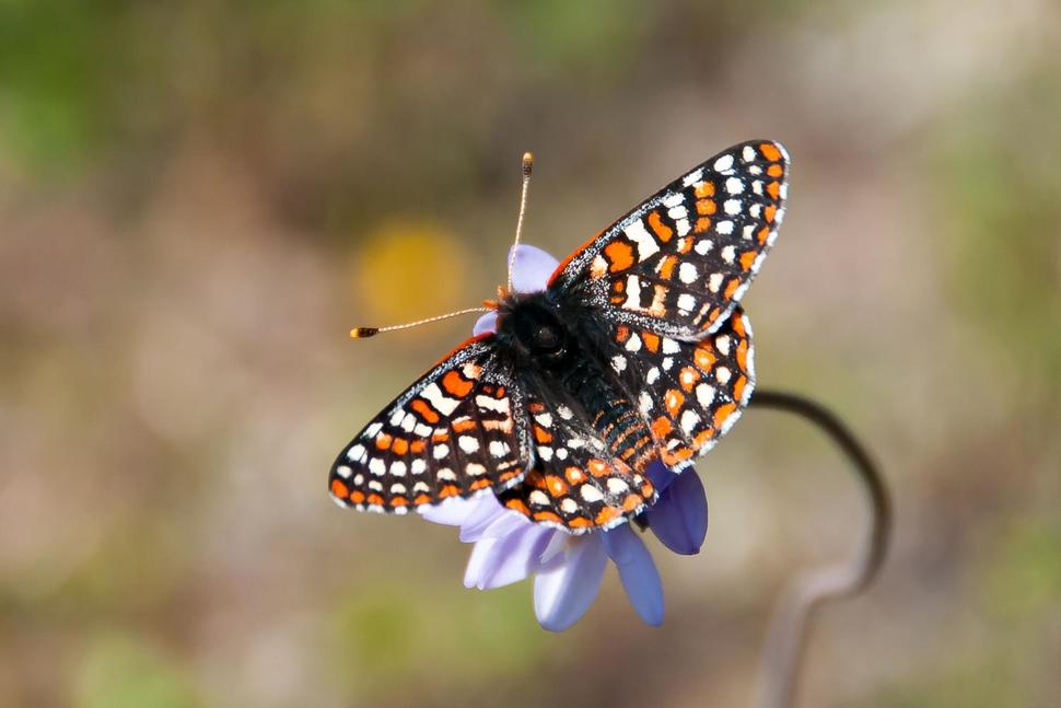 Quino checkerspot butterfly